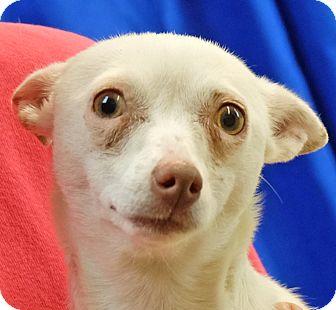Chihuahua/Dachshund Mix Dog for adoption in Spokane, Washington - Angie