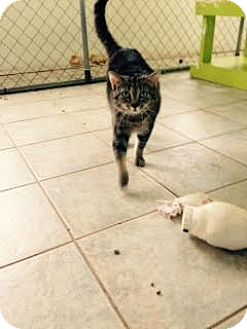 Domestic Shorthair Cat for adoption in East Smithfield, Pennsylvania - Elsa