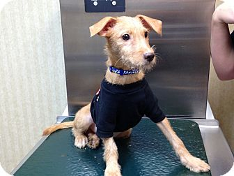 Terrier (Unknown Type, Small) Mix Puppy for adoption in Brick, New Jersey - Finn