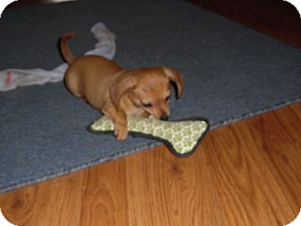 Dachshund/Chihuahua Mix Puppy for adoption in Melbourne, Arkansas - Frankie