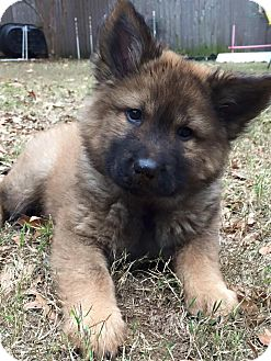 German Shepherd Dog/Keeshond Mix Puppy for adoption in KITTERY, Maine - GRACE