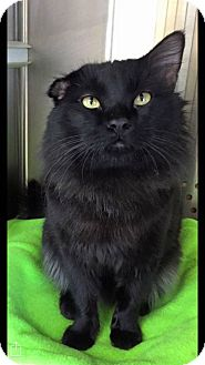 Domestic Longhair Cat for adoption in Mansfield, Texas - Brisby