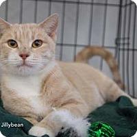 Adopt A Pet :: Jillybean - Merrifield, VA