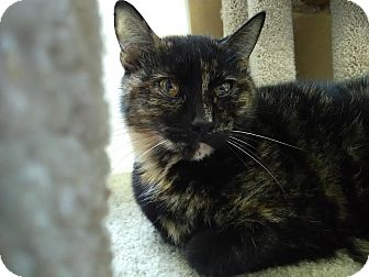 Domestic Shorthair Cat for adoption in Owenboro, Kentucky - CALLIE!