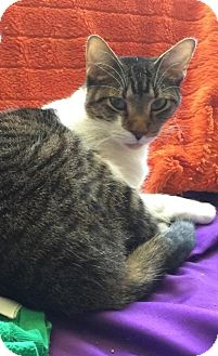 Domestic Shorthair Cat for adoption in Fort Worth, Texas - Valero