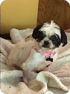Shih Tzu Dog for adoption in Freedom, Pennsylvania - Mona