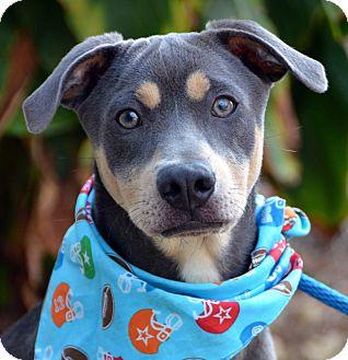 Weimaraner Mix Puppy for adoption in Palmyra, Pennsylvania - Hayes