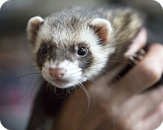 Ferret for adoption in Brandy Station, Virginia - PABU