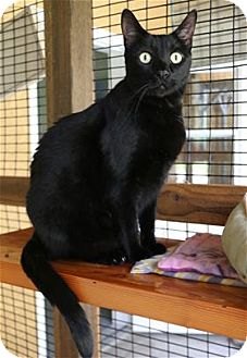 Domestic Shorthair Cat for adoption in Lincoln, California - Luther