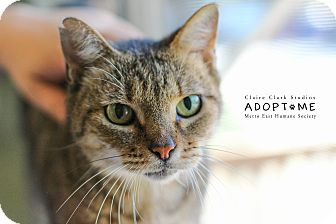 Domestic Shorthair Cat for adoption in Edwardsville, Illinois - Rosie