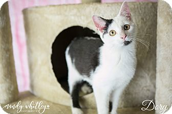 Domestic Shorthair Cat for adoption in Columbia, Tennessee - Dory