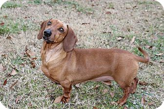 Dachshund Dog for adoption in Decatur, Georgia - Mason