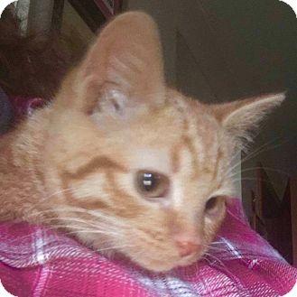 Domestic Shorthair Kitten for adoption in Attleboro, Massachusetts - Lollipop