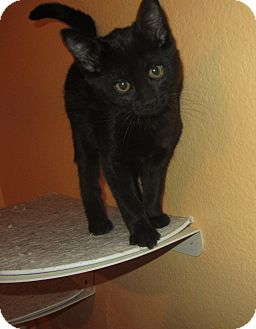 Domestic Shorthair Kitten for adoption in Ridgway, Colorado - Geronimo