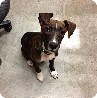 Italian Greyhound/Terrier (Unknown Type, Medium) Mix Dog for adoption in Larned, Kansas - Valentino