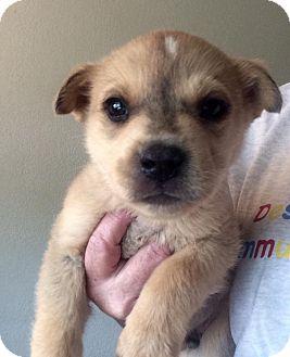 German Shepherd Dog/Australian Cattle Dog Mix Puppy for adoption in Cave Creek, Arizona - Landon