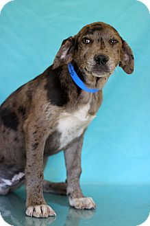 Catahoula Leopard Dog Mix Puppy for adoption in Waldorf, Maryland - Fandango
