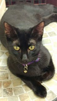 Domestic Shorthair Cat for adoption in Columbus, Ohio - Panther