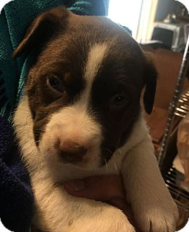Mixed Breed (Medium)/Mixed Breed (Medium) Mix Puppy for adoption in Savannah, Georgia - Ryder