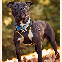 Pit Bull Terrier Mix Dog for adoption in Shakopee, Minnesota - Phil D3233