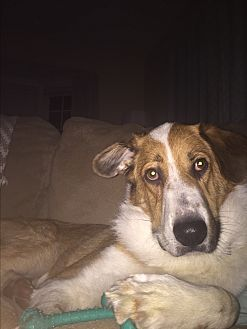 Collie/Shepherd (Unknown Type) Mix Dog for adoption in Louisville, Kentucky - Bo