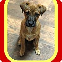 Adopt A Pet :: CHESTNUT - New Brunswick, NJ