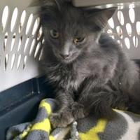 Domestic Shorthair/Domestic Shorthair Mix Cat for adoption in Clarksdale, Mississippi - Armond