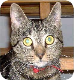 Domestic Shorthair Cat for adoption in Marion, North Carolina - Tex
