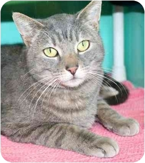 Domestic Shorthair Cat for adoption in Phoenix, Oregon - Oliver