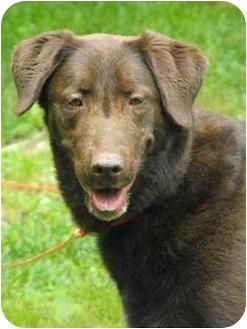 Labrador Retriever Mix Dog for adoption in Salem, Massachusetts - Calli