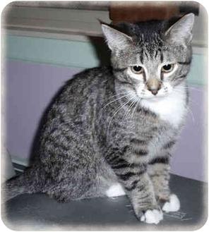 Domestic Shorthair Kitten for adoption in Howell, Michigan - Radar