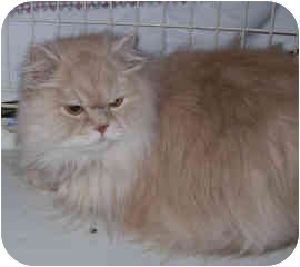 Persian Cat for adoption in Cranford/Rartian, New Jersey - Louie
