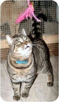 American Shorthair Cat for adoption in Cleveland, Ohio - Miss Lucy