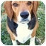 Photo 1 - Beagle Dog for adoption in Nashville, Tennessee - Macie- Adopted