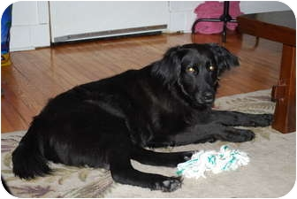 Flat-Coated Retriever Dog for adoption in New Canaan, Connecticut - Riley