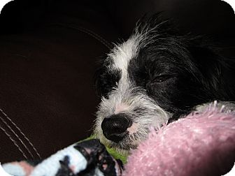 Shih Tzu/Terrier (Unknown Type, Small) Mix Dog for adoption in Lexington, Kentucky - Lindsey