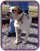 English Bulldog/American Bulldog Mix Dog for adoption in Washington, D.C. - Cuddles