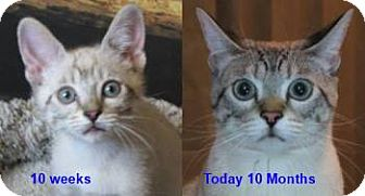 Siamese Kitten for adoption in Davis, California - Mario