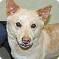 Adopt A Pet :: Violet - Port Washington, NY
