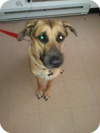 German Shepherd Dog/Mastiff Mix Dog for adoption in Barrie, Ontario - Zeus - Courtesy Post