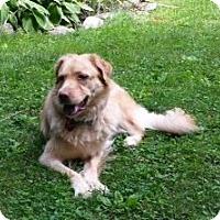 Adopt A Pet :: Amber - New Canaan, CT