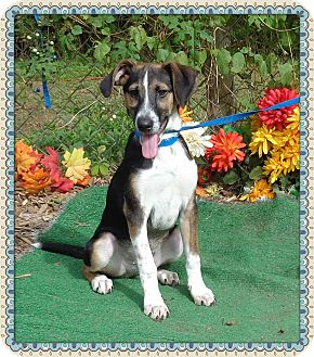 Hound (Unknown Type) Mix Puppy for adoption in Marietta, Georgia - SCOUT