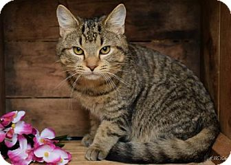 Domestic Shorthair Cat for adoption in Germantown, Maryland - Baby