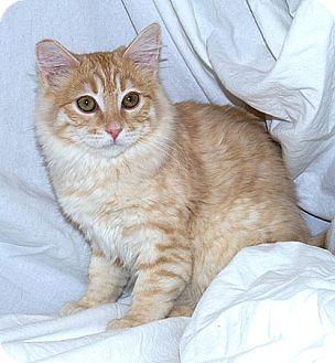 Domestic Mediumhair Kitten for adoption in Sacramento, California - Starlight B