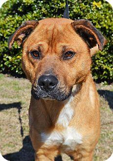 Labrador Retriever/Boxer Mix Dog for adoption in Wilmington, North Carolina - Stallone