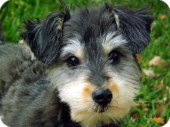 Schnauzer (Miniature)/Terrier (Unknown Type, Small) Mix Puppy for adoption in San Leon, Texas - Alfie