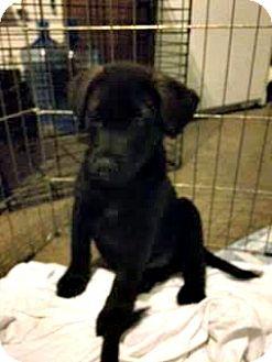 Labrador Retriever Mix Puppy for adoption in ST LOUIS, Missouri - Digby