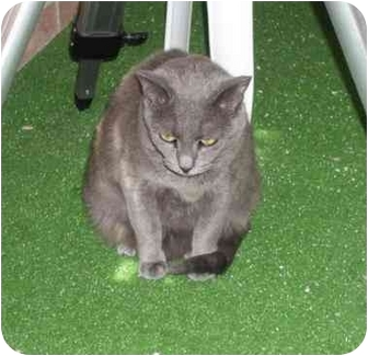 Russian Blue Cat for adoption in Rockville, Maryland - Mollie May