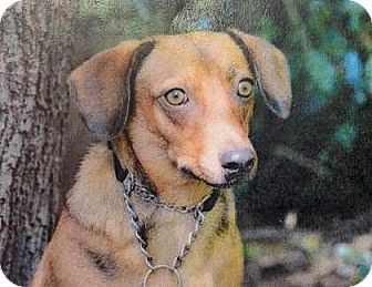 Dachshund Mix Dog for adoption in Spokane, Washington - Shadow