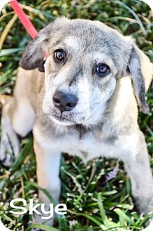 Catahoula Leopard Dog/Border Collie Mix Puppy for adoption in DFW, Texas - Skye